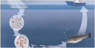 Plankton kretsløp (Ill: Sintef)