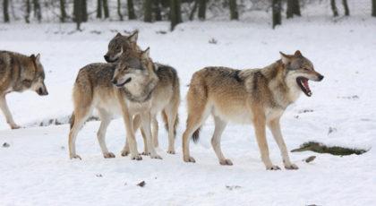 NORSKOG mener også at det må være mulig å skyte ulv dersom den skaper frykt i Norge( Foto: NORSKOG)