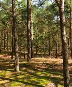 Svenska Cellulosa har Europas største skoger og vil startte produksjon av flytende biodrivstoff(foto:Flicr.com)